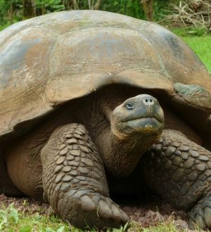 On Santa Cruz you can observe Giant Tortoises in their natural habitat