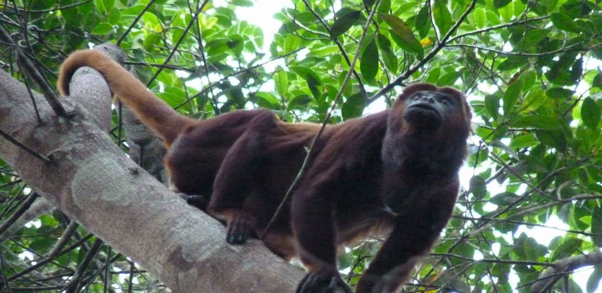 You can see and hear the howler monkeys in the Yasuni National Park