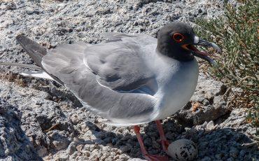 Find different gull species at the Ecuadorian coast.