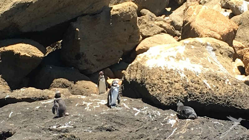 With some luck you can observe the Galapagos penguins.
