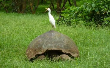 The Santa Cruz highland are natural habitat for the Galapagos Giant Tortoise
