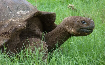 Observe the Galapagos Giant Tortoise in its natural habitat