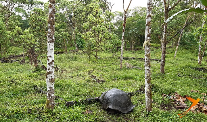 Schildkröte Semilla Verde