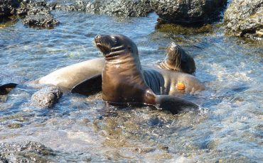 Observe swimming sea lions on South Plazas Island.