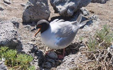 You might even spot a nesting sea gull on South Plazas Island.