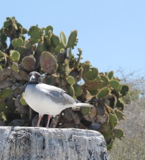 Sea gull is one of the bird species that can be spottet on South Plaza Island.