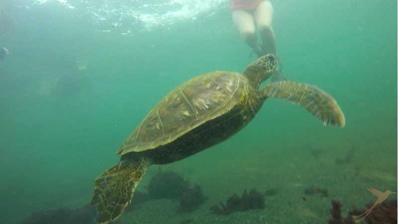 On the Galapagos you can swim with seaturtles