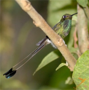 In the Sumaco Reserve you can observe numerous hummingbirds