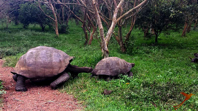 Observe Galapagos Tortoises in their natural habitat.
