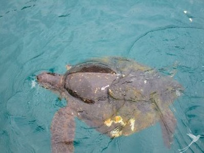 At the cost of Puerto Lopez you might spot sea turtles swimming in the water