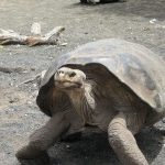 Observe the famous Giant Galapagos Tortoises on your Galapagos trip.