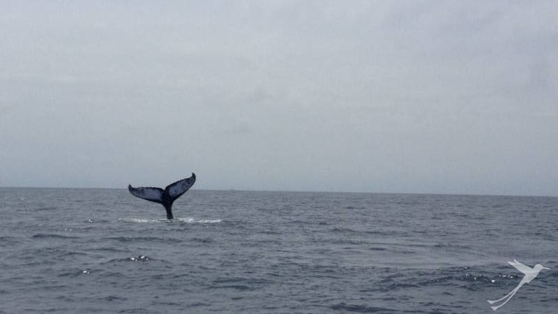 The whale watching season at the Ecuadorian coast takes from june to september