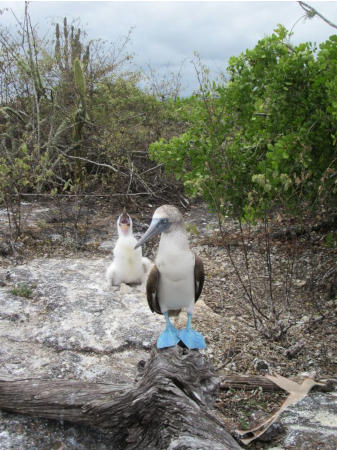 Observe the funny blue-footed boobies on you Isabela island trip.