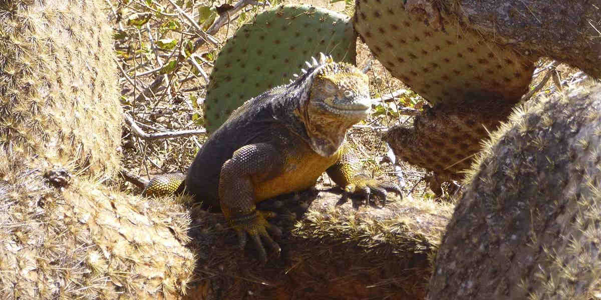 On the Galapagos you can find marine and land iguanas