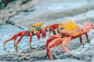 Find colorful crabs at the galapagos Islands