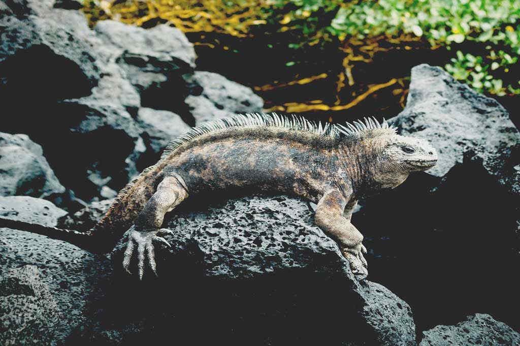 iguana-resting-at-galapagos-islands-ecuador-holiday