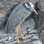 lava-heron