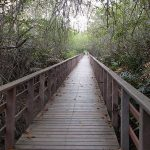 In the Reserve Manglares Churute you can walk in between the mangroves.