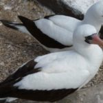 Nazca boobies can be found on the Galapagos Islands