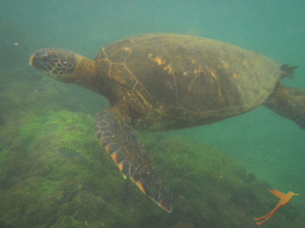 You can snorkel with seaturtles at Isabela