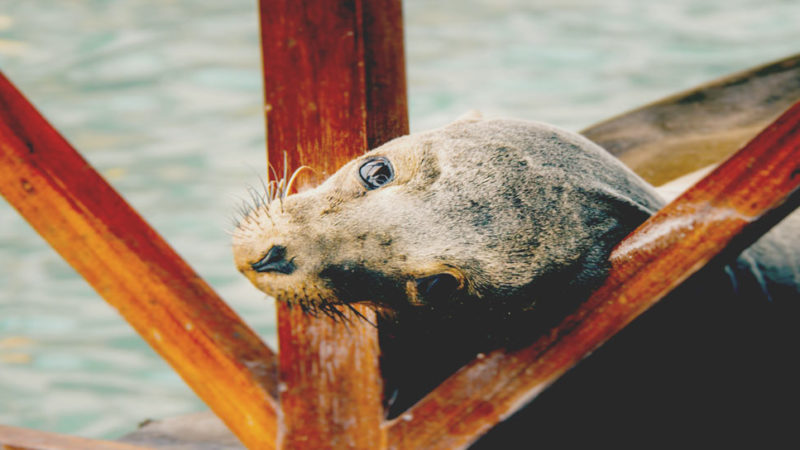 the sealions are emplematic for the Galapagos