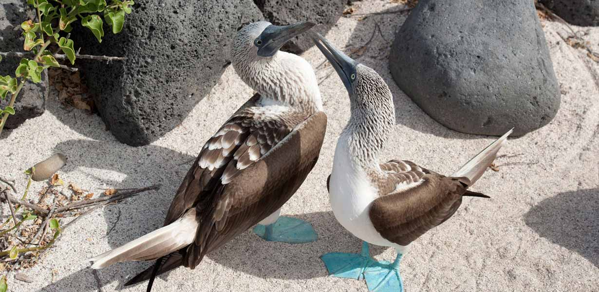 Ecuador, Blue Footed Booby, Private tour Galapagos, Galapagos, Soleq Travel