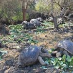 giant tortoise charles darwin station galapagos