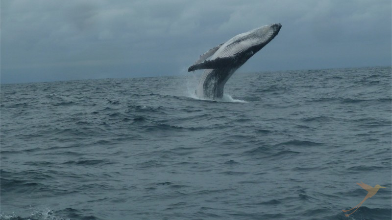 Puerto Lopez is an ideal starting point for whale watching tours